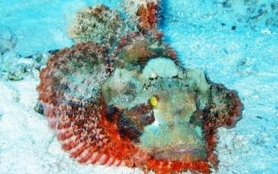 BeardedScorpionFish01