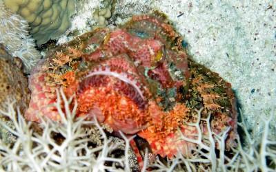 BeardedScorpionFish02