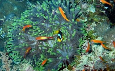 ClownFish01