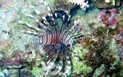 Lionfish04