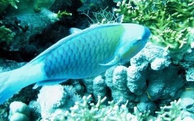 Parrotfish01