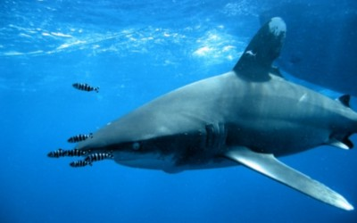 Shark06