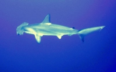 Shark08